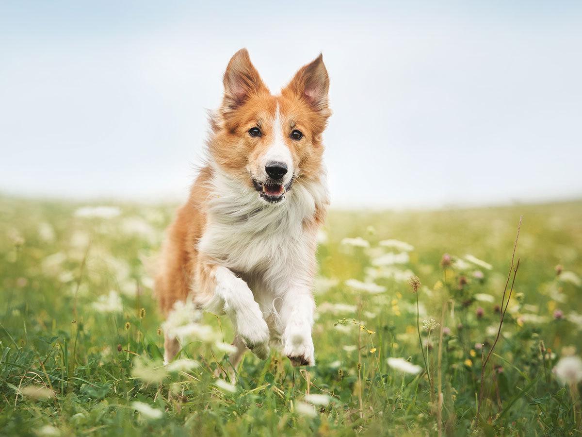 Műnyulas kutyafuttatás a Hármashatár-hegyen (4 kör / kutya)