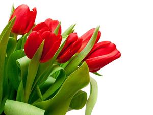 Termek_tulipan_middle