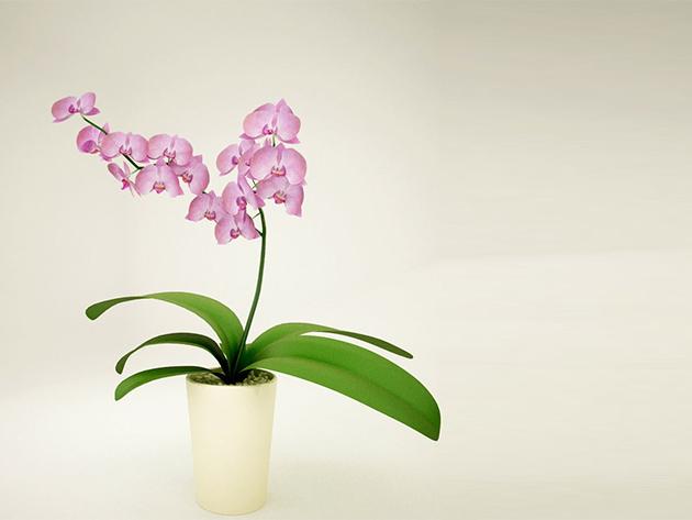 Cserepes orchidea (1 szál)